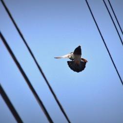 majestic pigeon. June 2016
