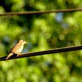 Sparrow on wire. June 2016